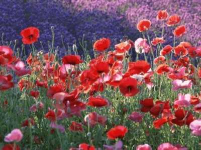罂粟花语 这里有最全面的罂粟花的花语